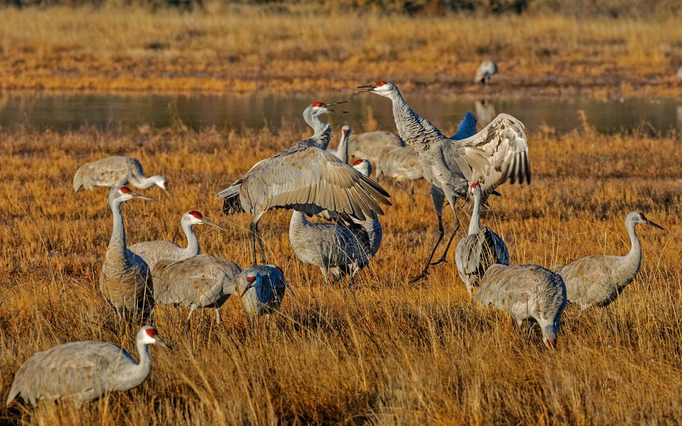 Sandhill Cranes Fighting - Julius Kovatch