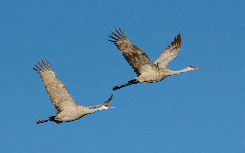 Sandhill Cranes in Flight - Julius Kovatch