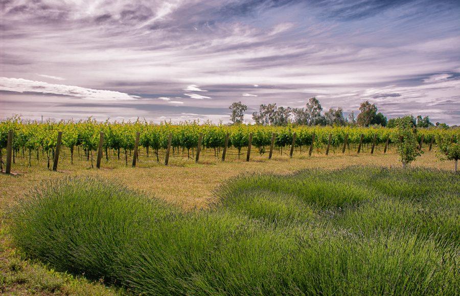 LS Sandler Anne Lavender and vines