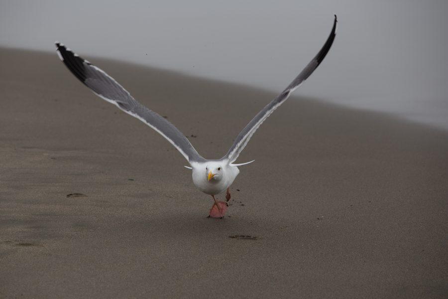 Common American Gull taking off Bodega Bay - Kristian Leide-Lynch