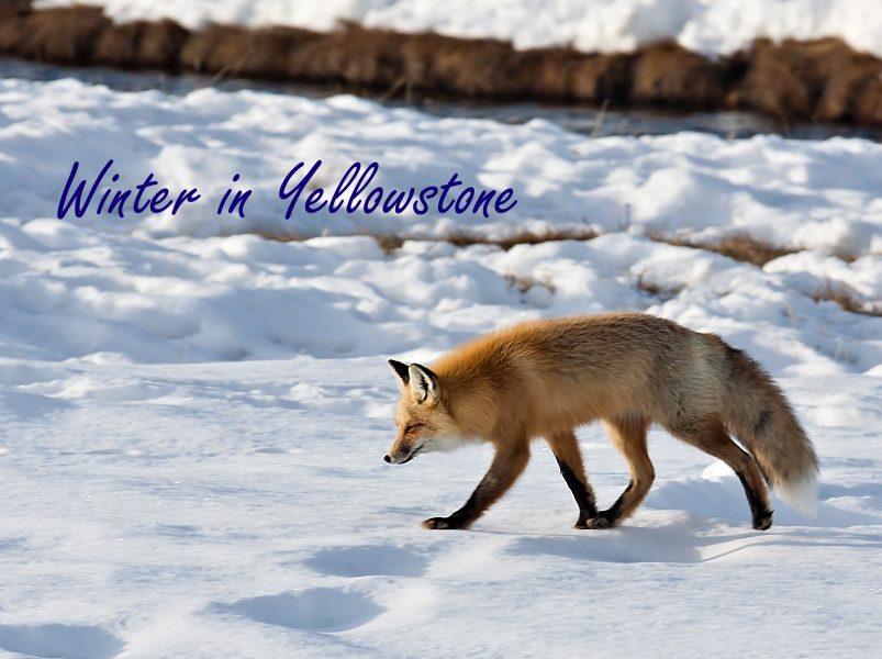 Winter in Yellowstone 01- Doug Arnold