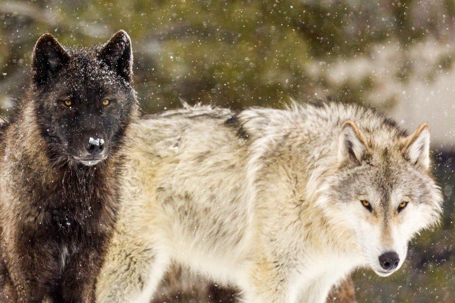 Winter in Yellowstone 02 - Doug Arnold