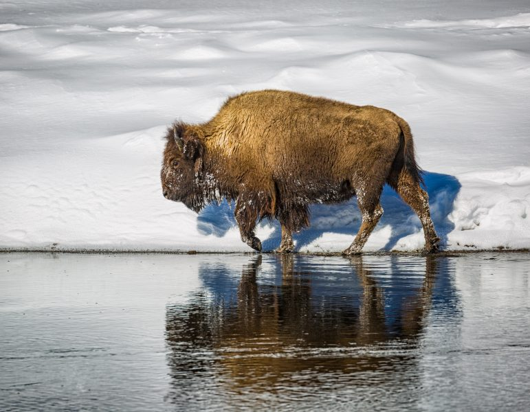 Winter in Yellowstone 04 - Doug Arnold