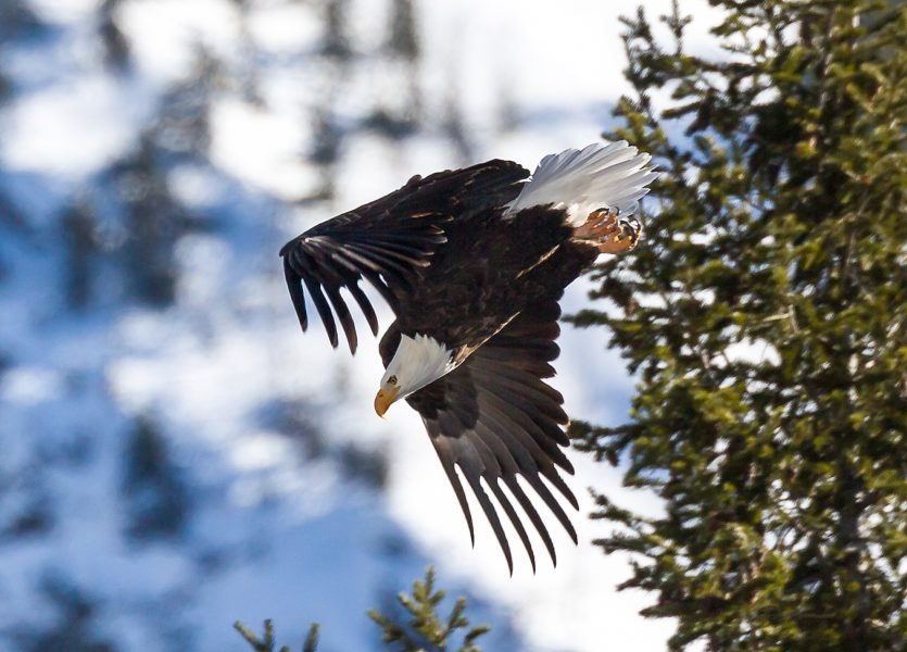 Winter in Yellowstone 06 - Doug Arnold