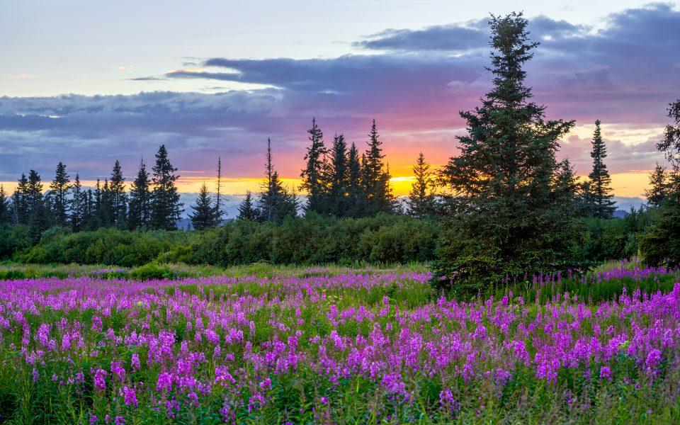 Fireweed at Sunset - Jan Lightfoot