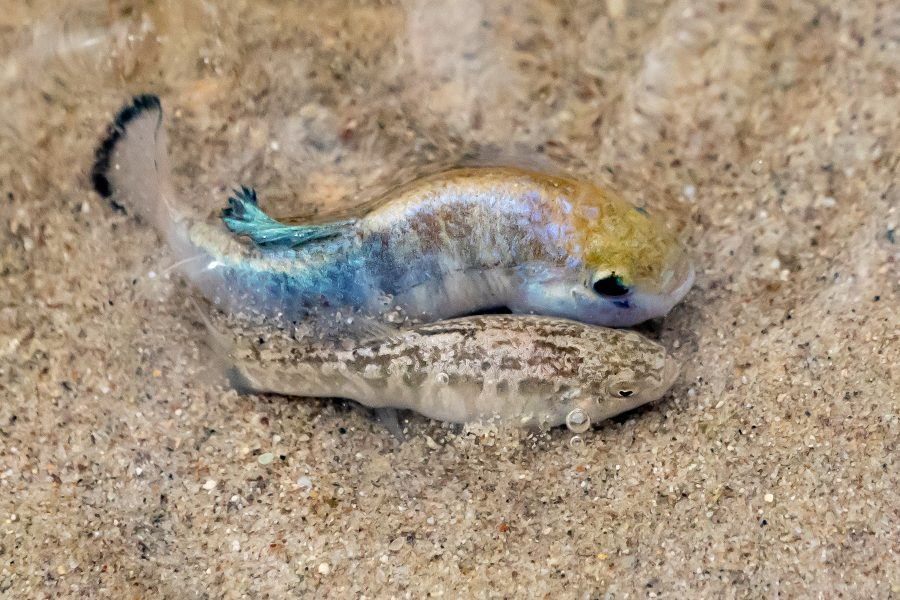 Mating Pupfish at Salt Creek, Death Valley - Jan Lightfoot