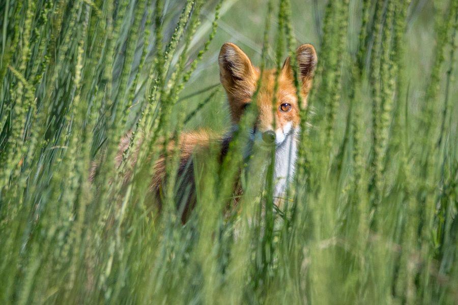 Red Fox Watching Through Grasses - Jan Lightfoot