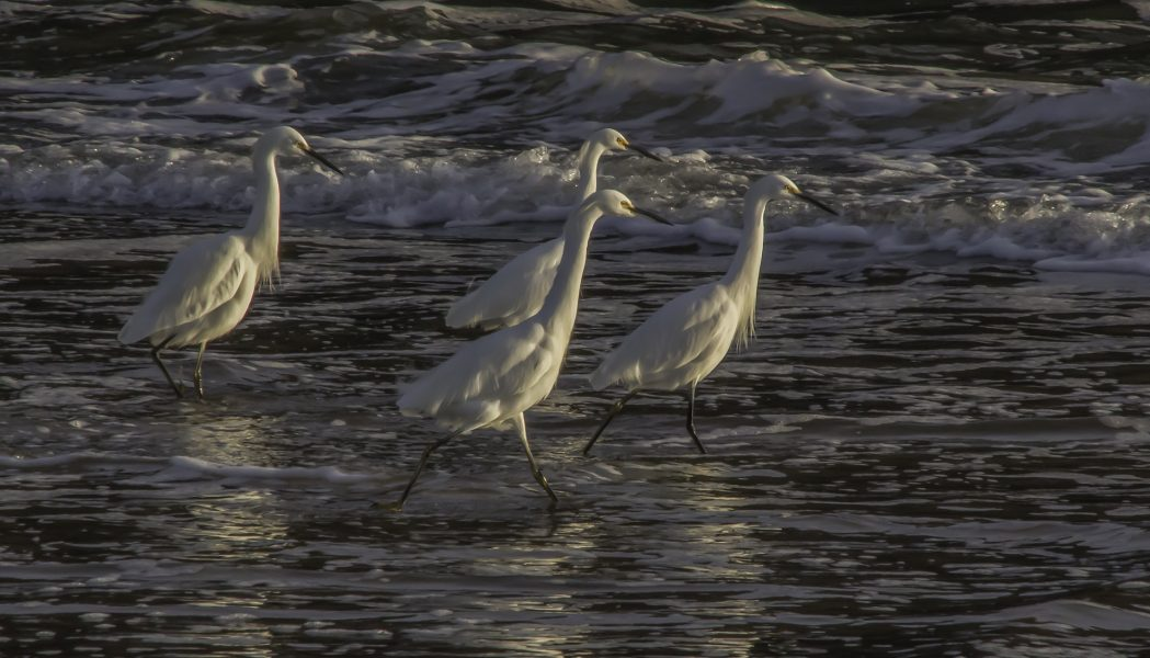 Egrets in the Surf - Peggy McCaleb